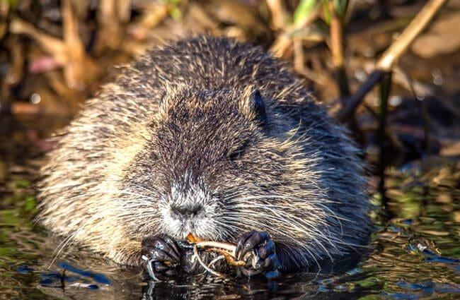 Chubby little Muskrat eating a snack Photo by: Sven Lachmann https://pixabay.com/photos/muskrat-river-ondatra-zibethicu-2228582/