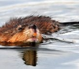 Muskrat In The Water – Notice His Sharp Front Teeth Photo By: Skeeze //pixabay.com/photos/muskrat-Swimming-Water-Wildlife-931627/
