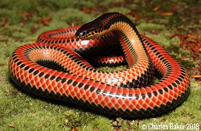 A startled Rainbow Snake Photo by: Charles Baker CC BY-SA 4.0 https://creativecommons.org/licenses/by-sa/4.0