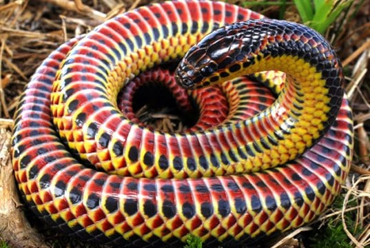 Colorful Rainbow SnakePhoto by: Charles Baker CC BY-SA 4.0 //creativecommons.org/licenses/by-sa/4.0
