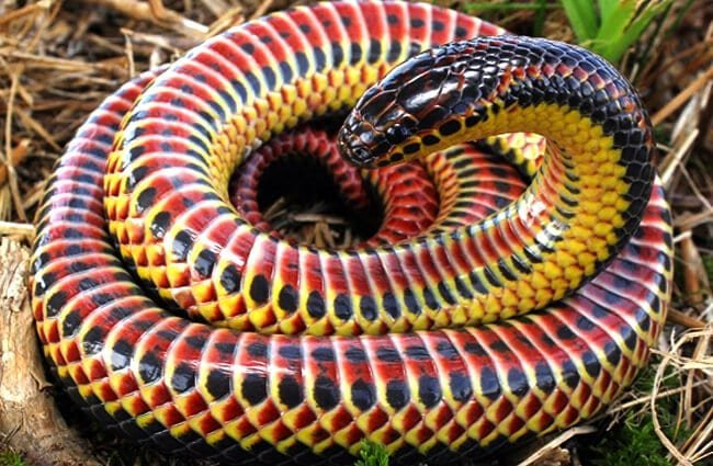 Colorful Rainbow SnakePhoto by: Charles Baker CC BY-SA 4.0 https://creativecommons.org/licenses/by-sa/4.0