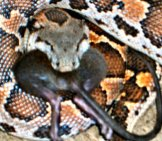 One Way Ticket For This Mouse - Sand Boa Photo By: Chandan Singh Https://creativecommons.org/licenses/by-Nc-Sa/2.0/