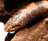 Kenyan Sand Boa Photo By: (C) Nneirda Www.fotosearch.com