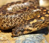 Juvenile Javelin Sand Boa Photo By: (C) Taviphoto Www.fotosearch.com