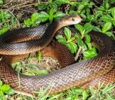 Coastal Taipan Photo By: Scott Eipper Https://creativecommons.org/licenses/by-Nd/2.0/