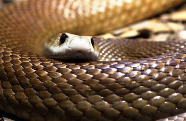 most poisonous snakes in Australia, Taipan Photo by: (c) darrenp www.fotosearch.com