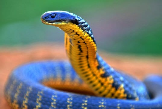 Closeup of a Western Tiger SnakePhoto by: Laurie Boylehttps://creativecommons.org/licenses/by-sa/2.0/