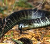 Eastern Tiger Snake Photo By: Matt From Melbourne, Australia Cc By 2.0 Https://creativecommons.org/licenses/by/2.0