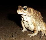 African Tree Toad Photo By: Adedotun Ajibade Https://creativecommons.org/licenses/by-Sa/2.0/