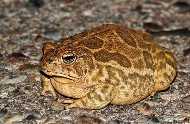 Great Plains Toad on a road Photo by: (c) stevebyland www.fotosearch.com