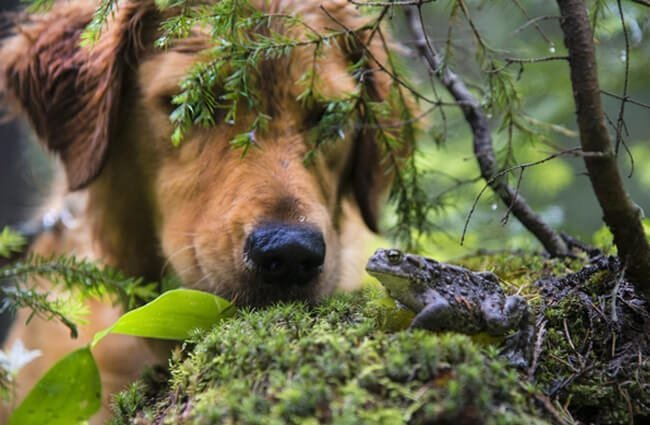 Dog looking at a Toad in the forest Photo by: (c) rjcphoto www.fotosearch.com