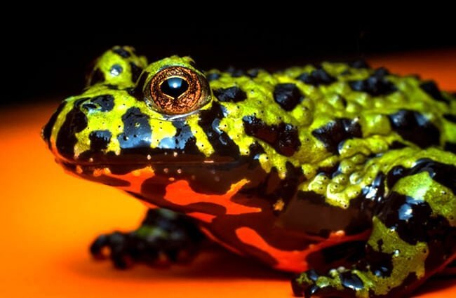 Fire Bellied Toad - notice his bright red belly Photo by: (c) ezumeimages www.fotosearch.com