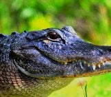 Large American Alligatorphoto By: Cuatrok77Https://creativecommons.org/licenses/by-Sa/2.0/