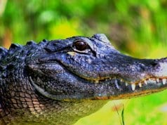Large American AlligatorPhoto by: cuatrok77//creativecommons.org/licenses/by-sa/2.0/