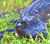 Alligator In The Florida Everglades Photo By: Allen Mcgregor Https://creativecommons.org/licenses/by-Sa/2.0/