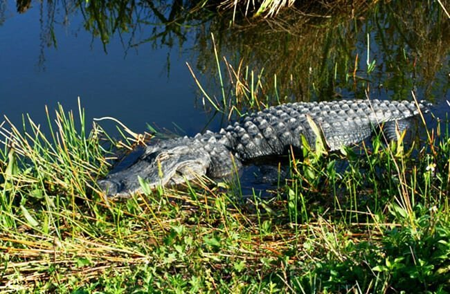 American Alligator at the water's edge Photo by: Navin Rajagopalan https://creativecommons.org/licenses/by-sa/2.0/