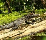 Young Alligator Sunning On A Log Photo By: D. Scott Lipsey, U.s. Fish And Wildlife Service Headquarters (Public Domain) Https://creativecommons.org/licenses/by-Sa/2.0/