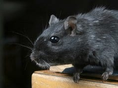 Closeup of a beautiful black rat