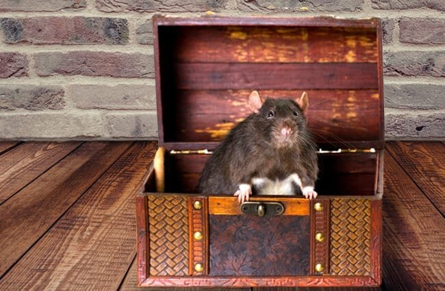 Black rat in a treasure chest Photo by: (c) Argument www.fotosearch.com