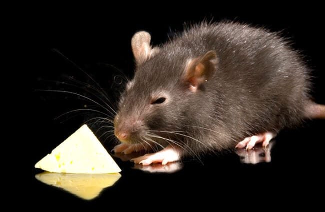 fat black rat gets the cheese Photo by: (c) Mosich www.fotosearch.com