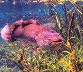 Large Bigmouth Bowfin Photo By: Phil's 1Stpix Https://creativecommons.org/licenses/by/2.0/