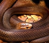 A Coiled Brown Snake At The Australia Zoo Photo By: John Https://creativecommons.org/licenses/by-Sa/2.0/