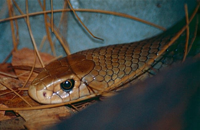 Closeup of an Eastern Brown Snake at the Australia Zoo Photo by: Bernard DUPONT https://creativecommons.org/licenses/by-sa/2.0/