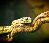 Bushmaster Snake On A Branch Photo By: (C) Madov Www.fotosearch.com