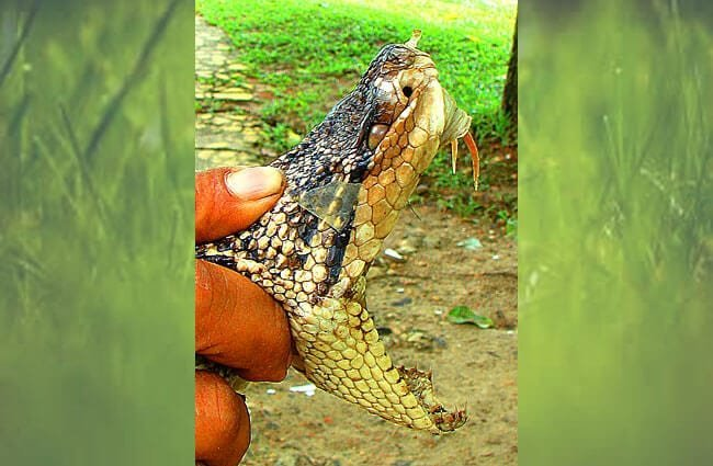 Bushmaster showing its fangs Photo by: Dick Culbert //creativecommons.org/licenses/by/2.0/