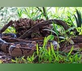 Deadly Bushmaster, Photographed In Cost Rica Photo By: Doug Greenberg //creativecommons.org/licenses/by/2.0/