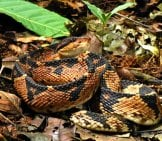 This Deadly Bushmaster Is Well-Camouflaged In The Leaves. Photo By: Andreas Kay //creativecommons.org/licenses/by/2.0/