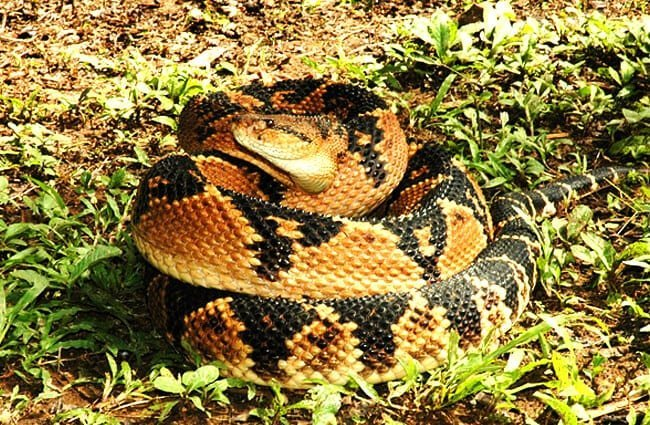 Surprised Bushmaster, coiled to strike Photo by: Christopher Murray [Public domain]