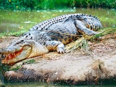 Saltwater Crocodile in South Queensland, AustraliaPhoto by: Bernard DUPONT//creativecommons.org/licenses/by-sa/2.0/
