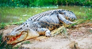 Saltwater Crocodile in South Queensland, AustraliaPhoto by: Bernard DUPONThttps://creativecommons.org/licenses/by-sa/2.0/