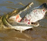 Nile Crocodile Trying To Swallow A Big Tilapia Photo By: Bernard Dupont //creativecommons.org/licenses/by-Sa/2.0/