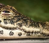 Closeup Of A Cuban Crocodile Photo By: Paul Hudson //creativecommons.org/licenses/by-Sa/2.0/