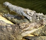 A Pair Of Magdalena River Crocodiles Photo By: Serge //creativecommons.org/licenses/by-Sa/2.0/