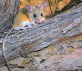 "Deer Mouse In A Tree Photo By: Gregory ""slobirdr"" Smith Https://creativecommons.org/licenses/by-Sa/2.0/"