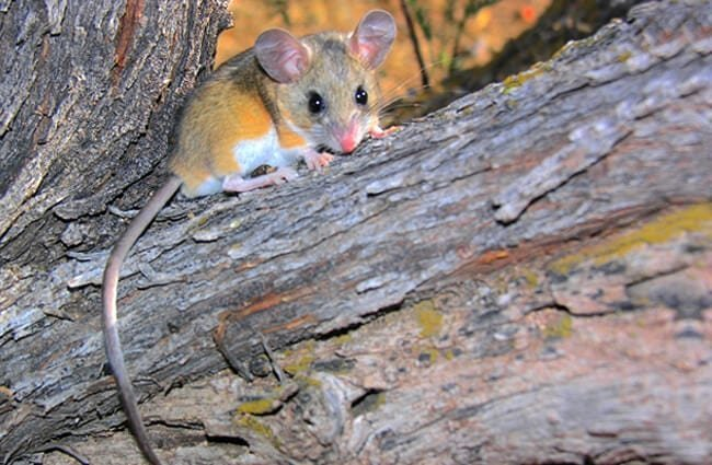 """Deer Mouse in a tree Photo by: Gregory """"Slobirdr"""" Smith https://creativecommons.org/licenses/by-sa/2.0/"""