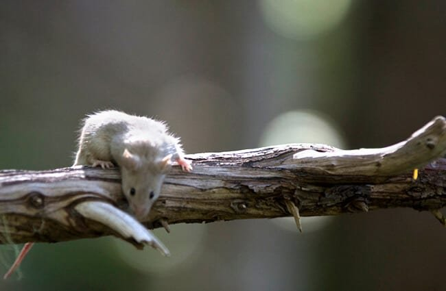 Deer Mouse draped over a bare tree branch Photo by: Mount Rainier National Park, NPS photo by Emily Brouwer https://creativecommons.org/licenses/by-sa/2.0/