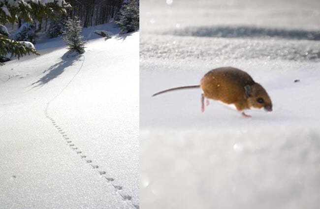 Deer Mouse tracks ... and playing in the snow Photo by: Andrew Cannizzaro, and U.S. Fish and Wildlife Service Headquarters https://creativecommons.org/licenses/by-sa/2.0/