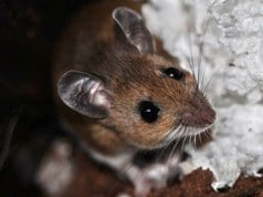 This Deer Mouse made a nest in the peat stored for the winterPhoto by: alsteelehttps://creativecommons.org/licenses/by-sa/2.0/