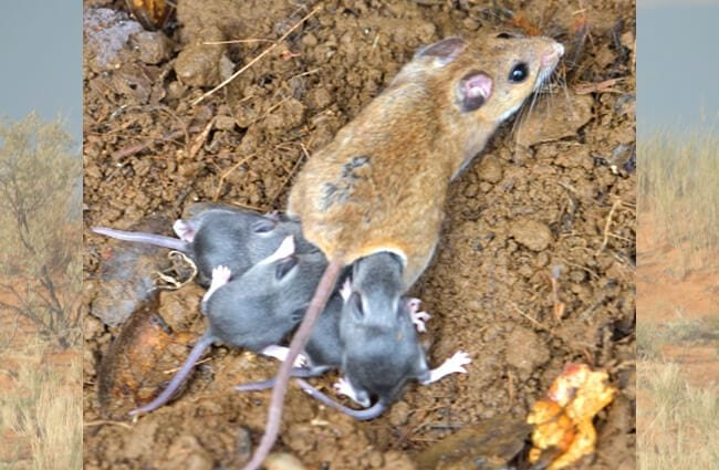 A Deer Mouse mommy and her babies Photo by: Don Loarie https://creativecommons.org/licenses/by-sa/2.0/