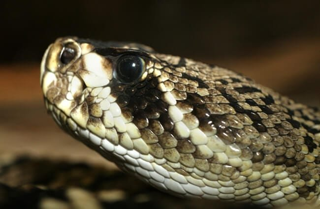 Ultra closeup of an Eastern Diamondback Rattlesnake Photo by: Tad Arensmeier https://creativecommons.org/licenses/by-sa/2.0/