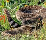 Western Diamondback Rattlesnake — Shaking Its Rattle Photo By: Larry Smith Https://creativecommons.org/licenses/by-Sa/2.0/