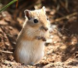 Mongolian Gerbil – Wild Ancestor Of The Pet Gerbil Photo By: Alastair Rae Https://creativecommons.org/licenses/by-Sa/2.0/