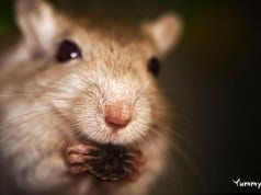 Closeup of a pet GerbilPhoto by: Matthttps://creativecommons.org/licenses/by-sa/2.0/