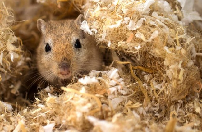 Pet Gerbil peeking out from his fluffy bedding