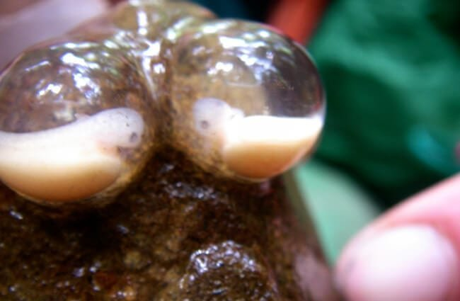 Giant Salamander Eggs Photo by: Teal Waterstrat, USFWS - Pacific Region https://creativecommons.org/licenses/by-nc/2.0/