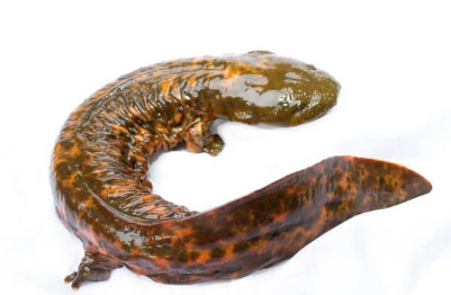 Hellbender SalamanderPhoto by: Brian Gratwickehttps://creativecommons.org/licenses/by-nc/2.0/